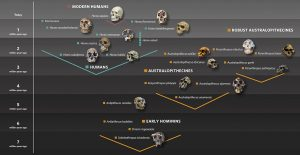 human-evolution-family-tree-with-skulls